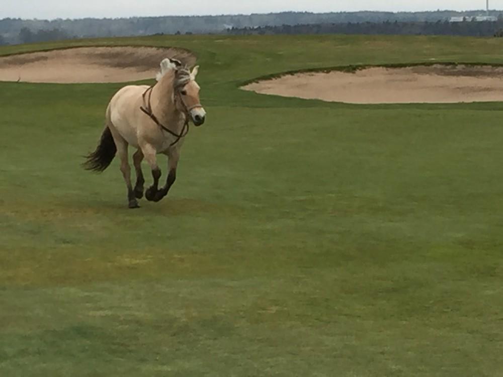 Häst på banan är tack och lov ovanligt. Här på hål 16 Östra och den vände innan den kom till greenen!